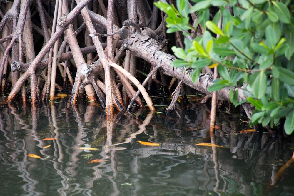 mangroves b