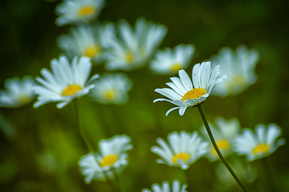 selective focus photography of white daisies during daytime