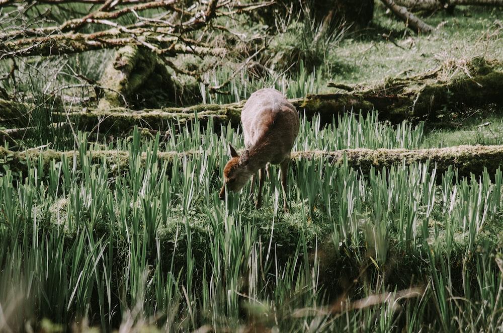 brown deer eating green grass