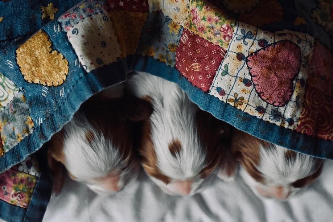 1-week old Cavalier Puppy