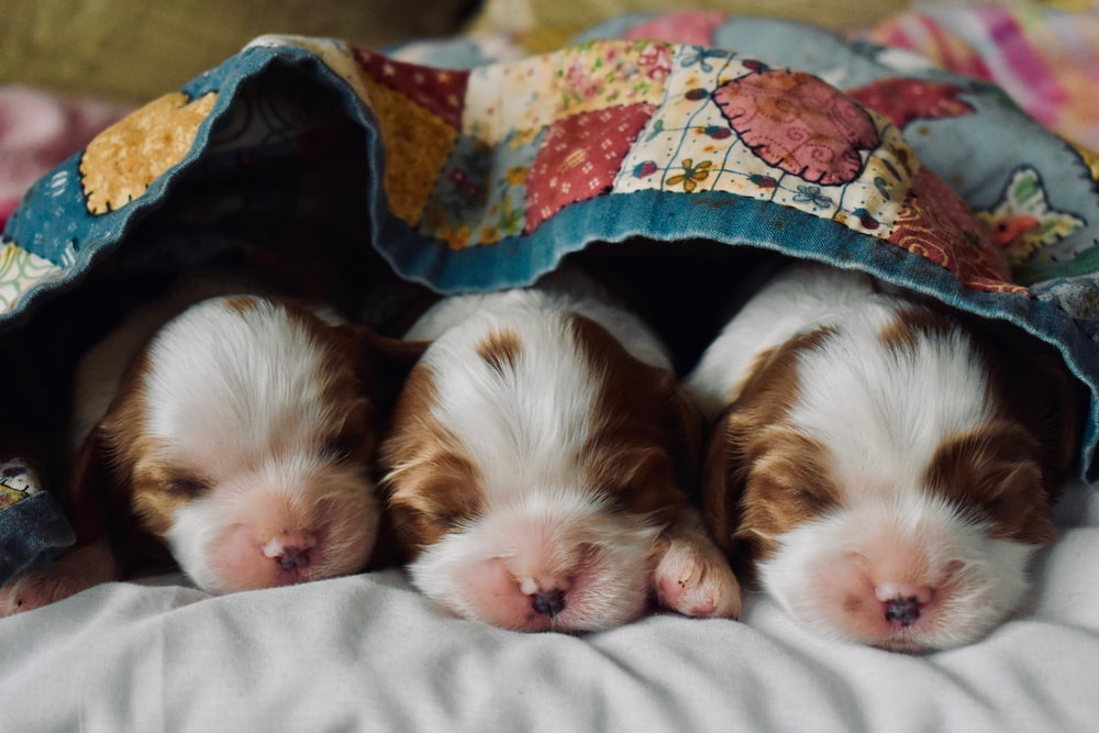 long-coated tan and white puppies