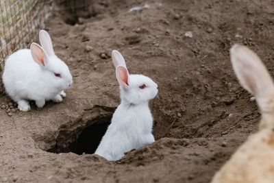 two white rabbits rabbit zoom background
