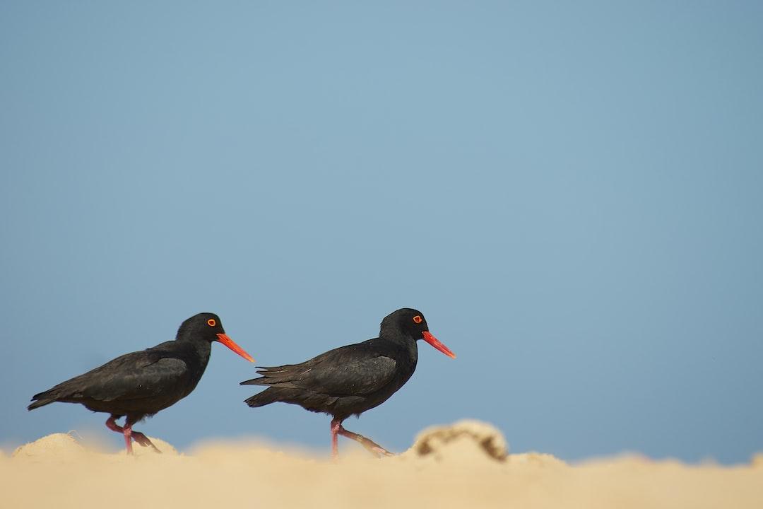Two Black Birds - unsplash