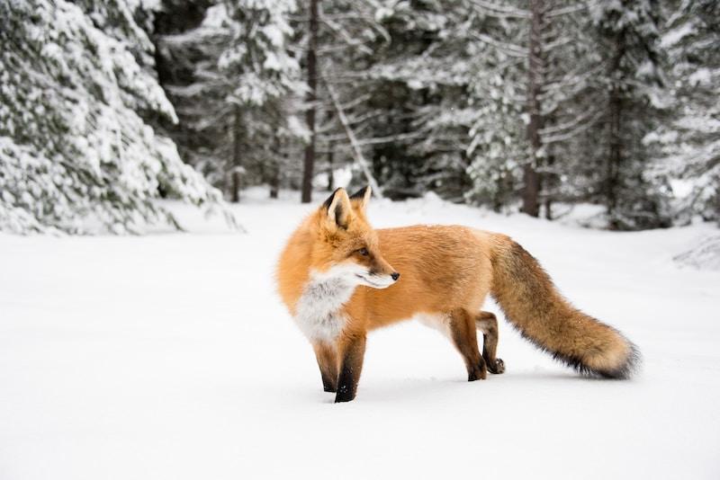 orange fox near trees