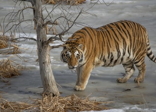 brown tiger beside bare tree during daytime