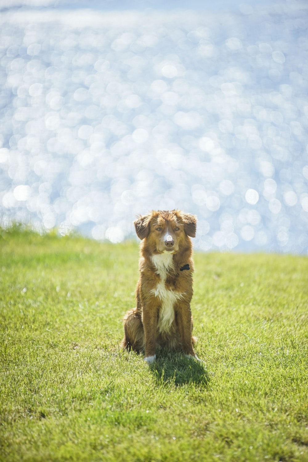 long-coated tan and white dog sitting on green grass