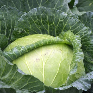 macro photography of green cabbage