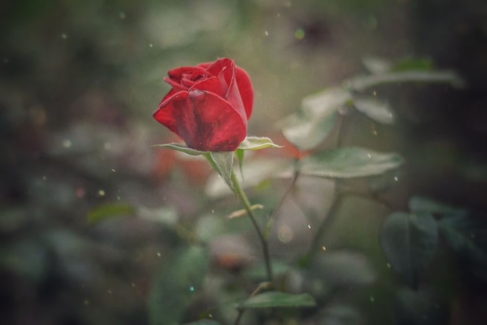 close up photography of red rose flower