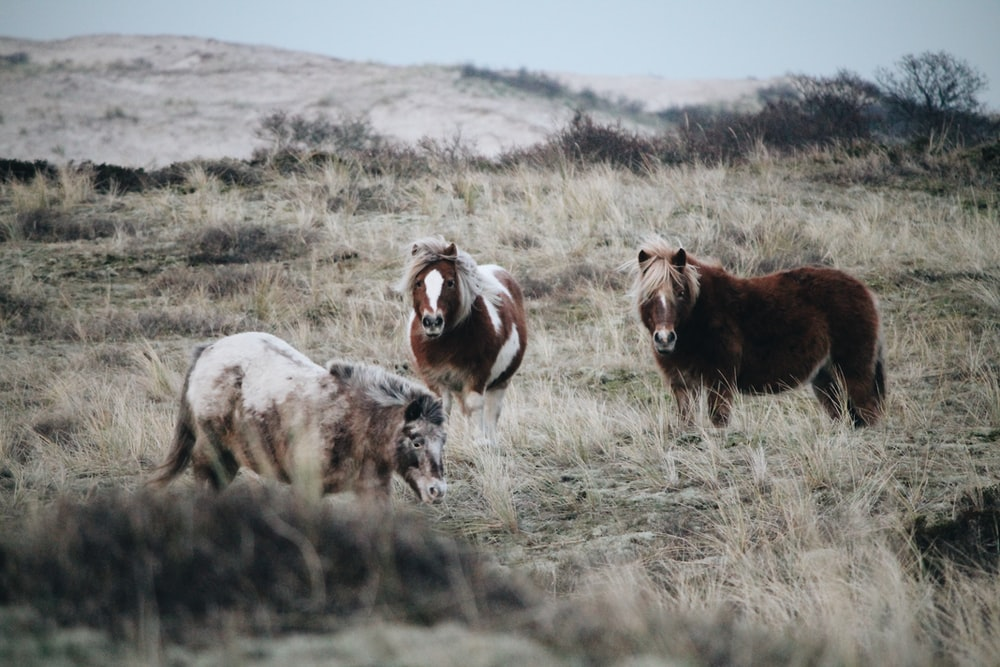 three brown and white horses on grass