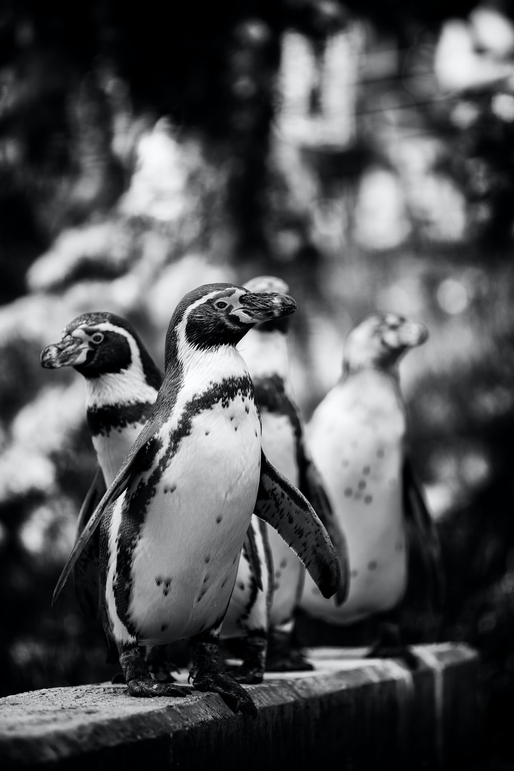 grayscale photography of penguins