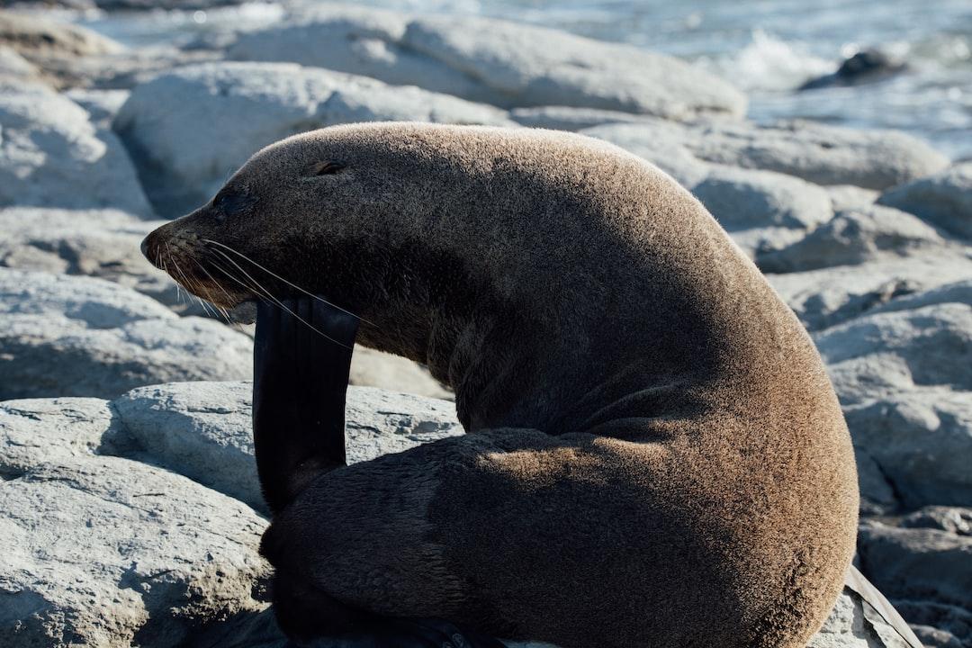 Macro Photography of Gray Sea Lion On Rock - unsplash