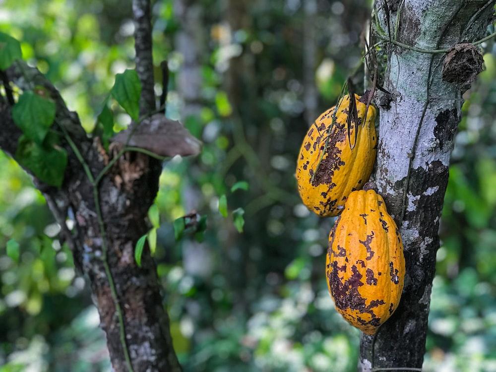 cacao beas