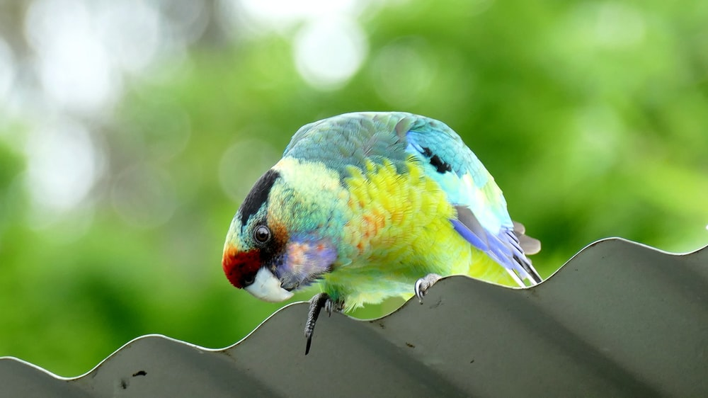 yellow and teal bird perching on steel sheet
