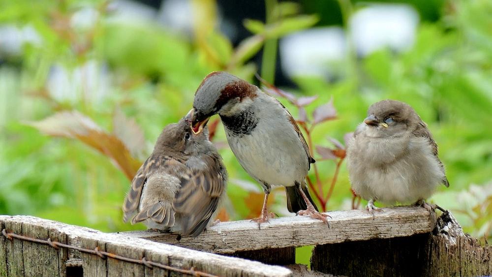 three gray birds standing on brown wooden lumber