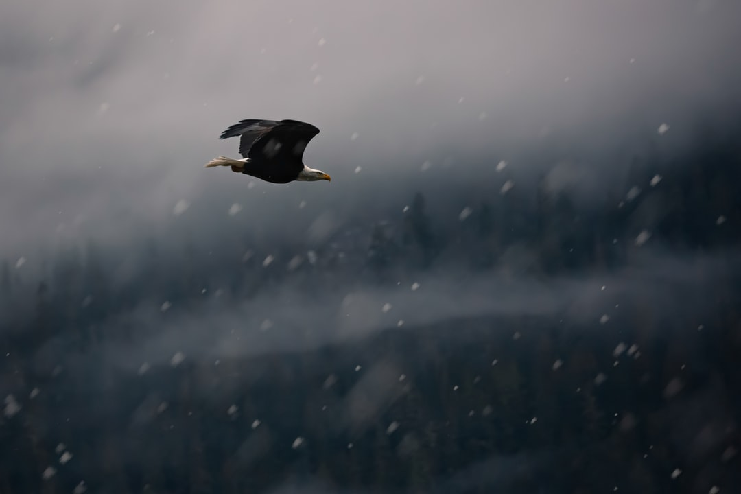 A Bald Eagle Flying In A Snowstorm.  - unsplash