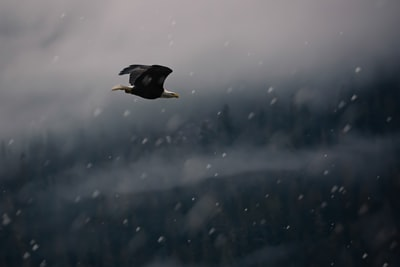 A bald eagle flying in a snowstorm.