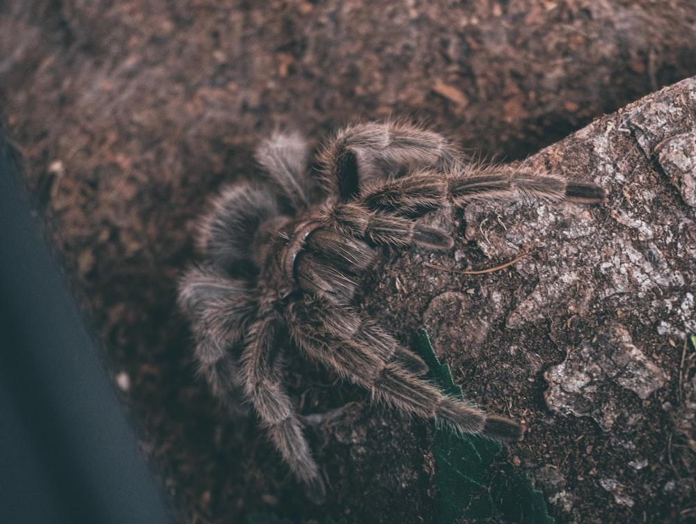 brown tarantula spider