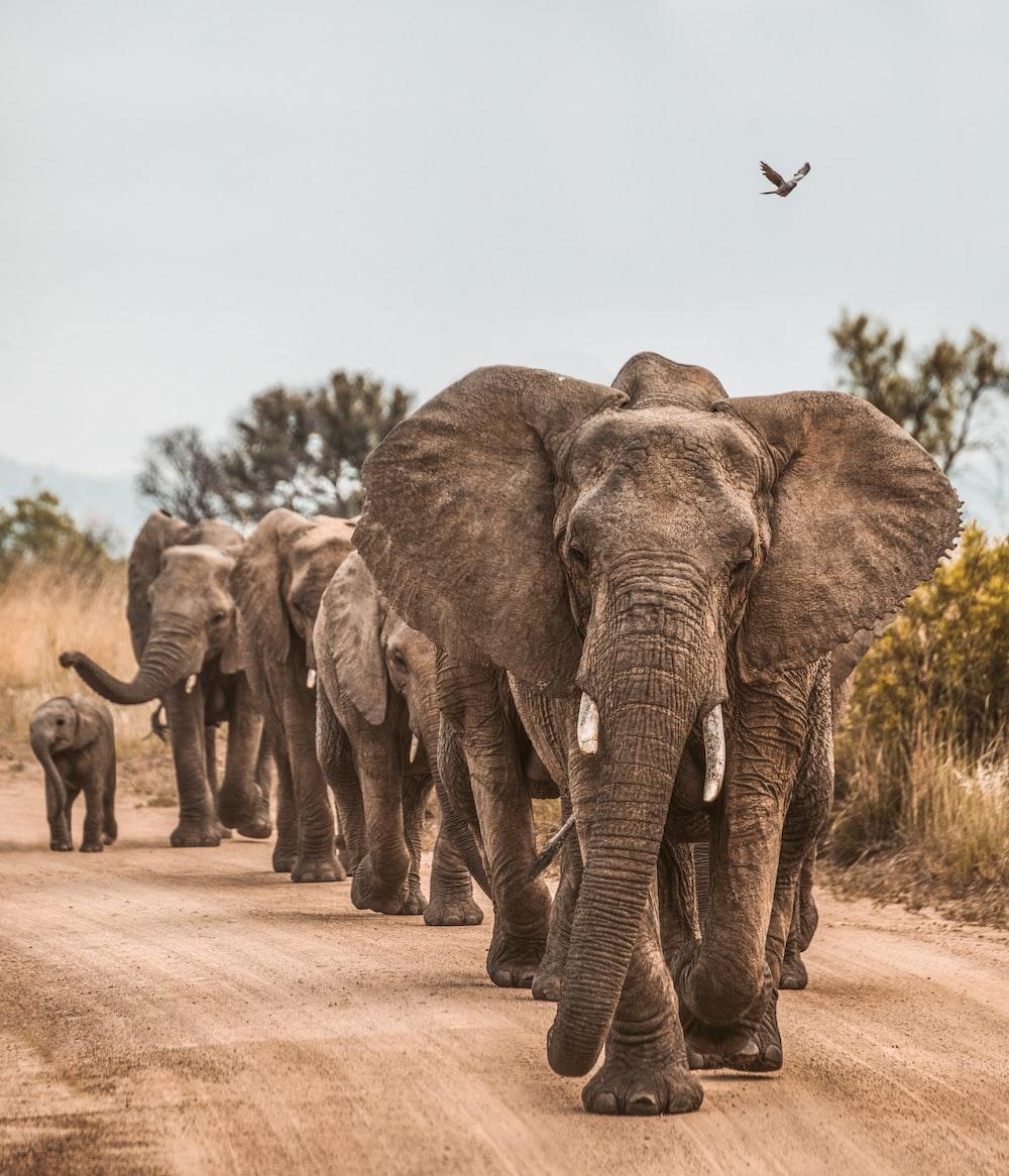 elephants on road