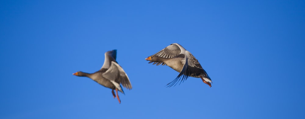 two flying brown birds during daytime