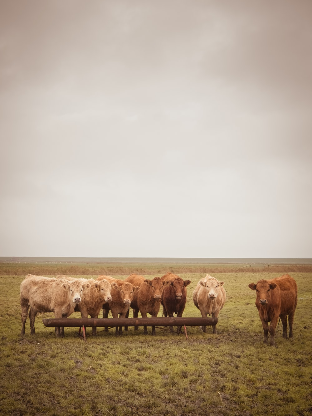 brown cows standing on grass field