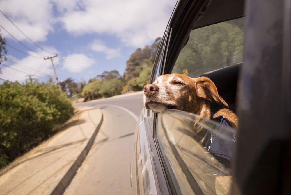 dog leaning his head on car window
