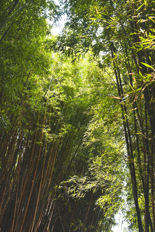 green bamboo trees