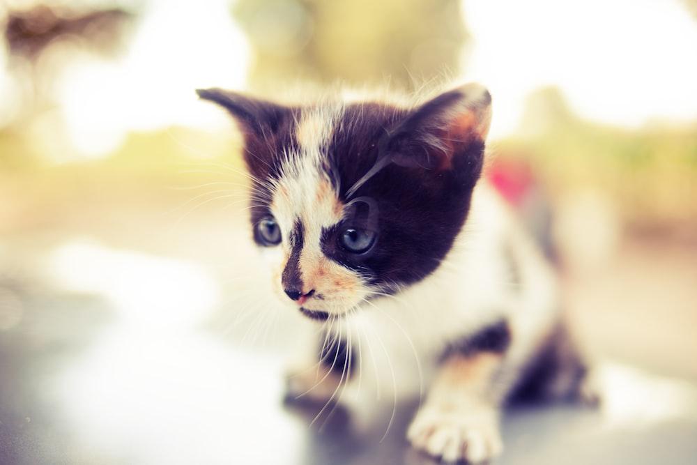white and black kitten