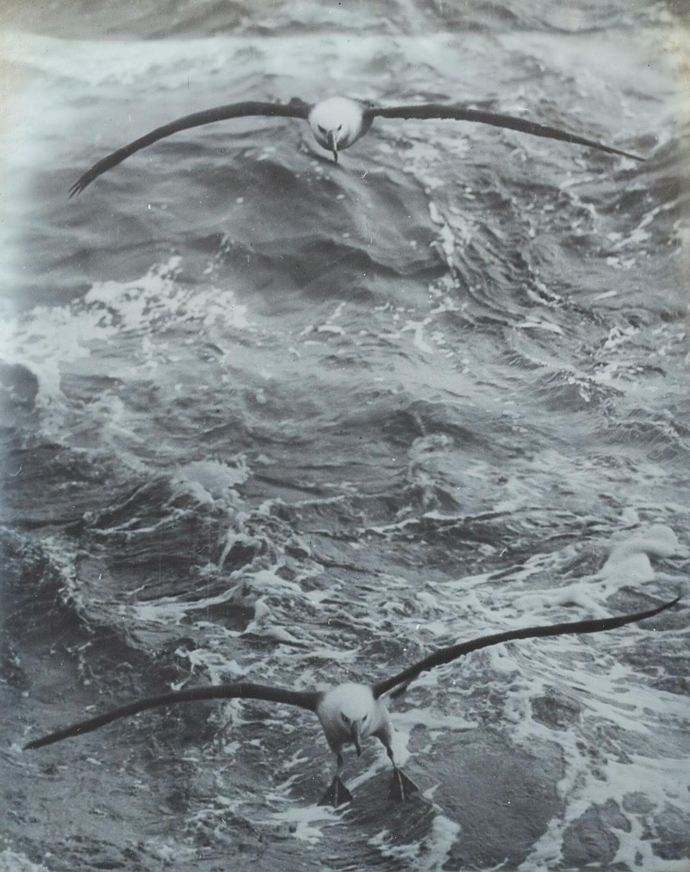 Lantern Slide - Two Wandering Albatrosses, BANZARE Voyage 1, Antarctica, 1929-1930 Photographer: Frank Hurley
