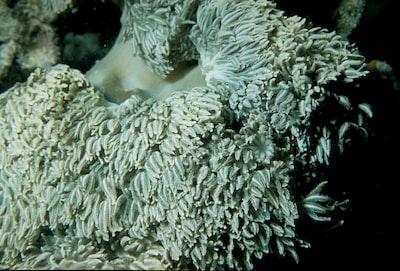 One Tree Reef. Heteroxenia sp. soft coral.
