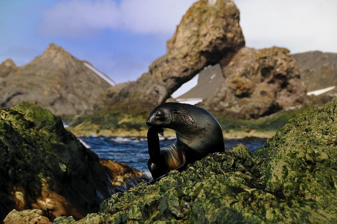 Antarctic fur seal grooming at Cape Shirreff.