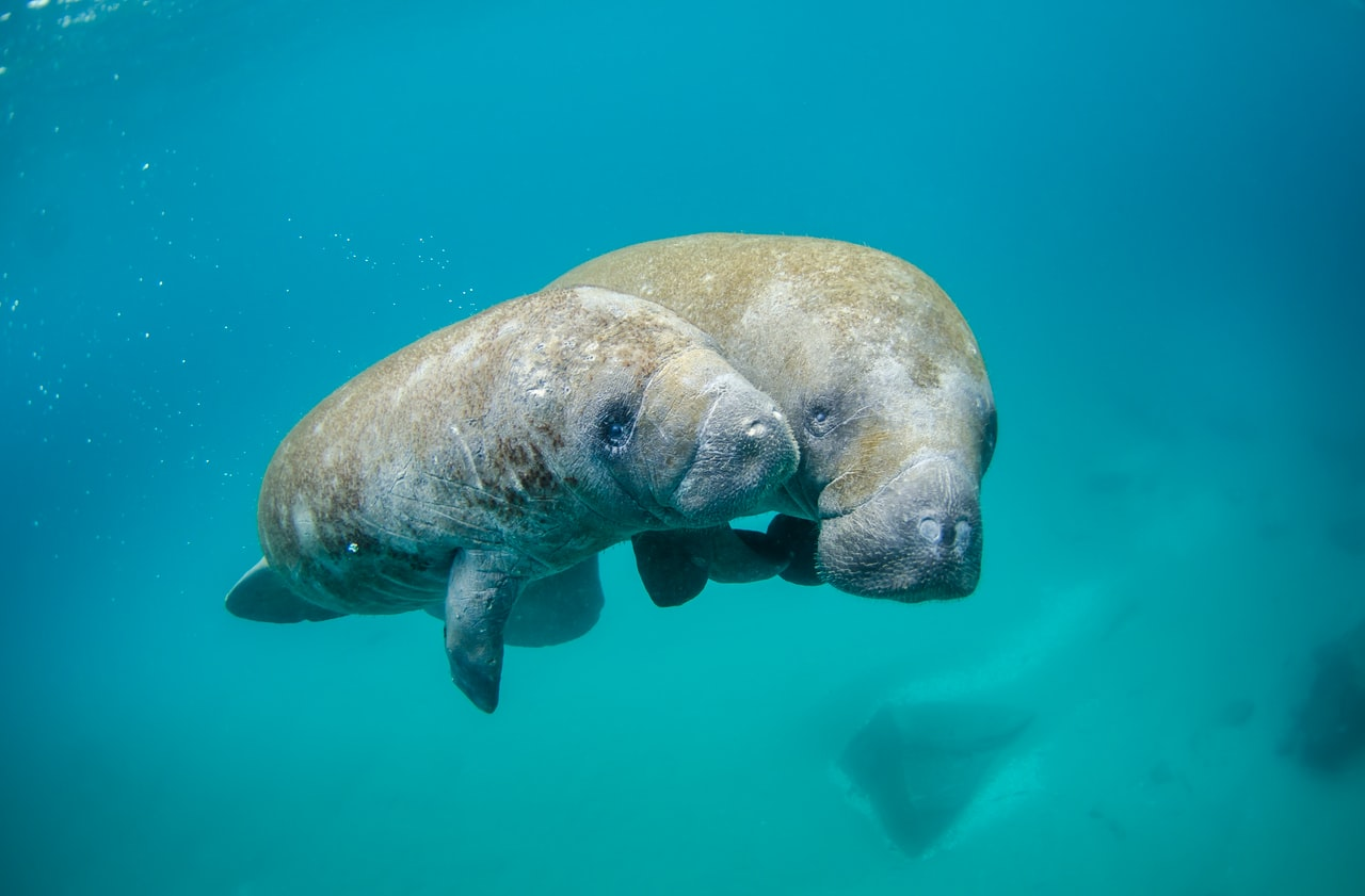 View the live-streaming manatee cam and see these gentle giants