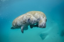 Manatees are dying in record numbers due to starvation as their habitat is destroyed by pollution and algae blooms kill off their food