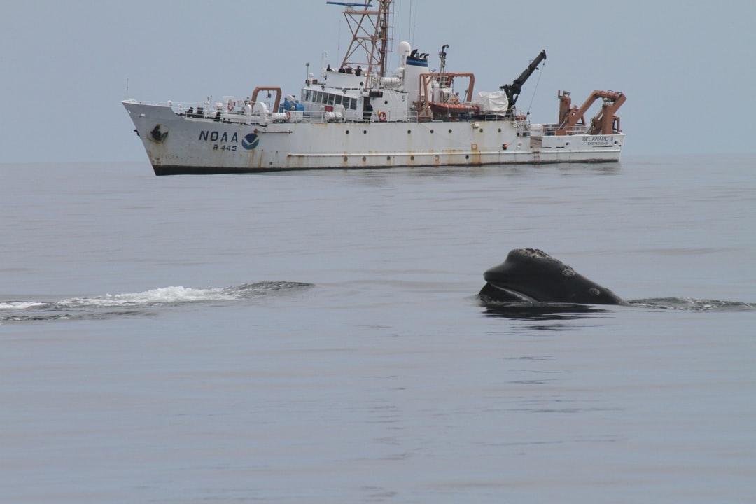 Head of northern right whale with NOAA Ship DELAWARE II in background.