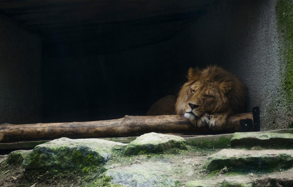 lion lying beside wall