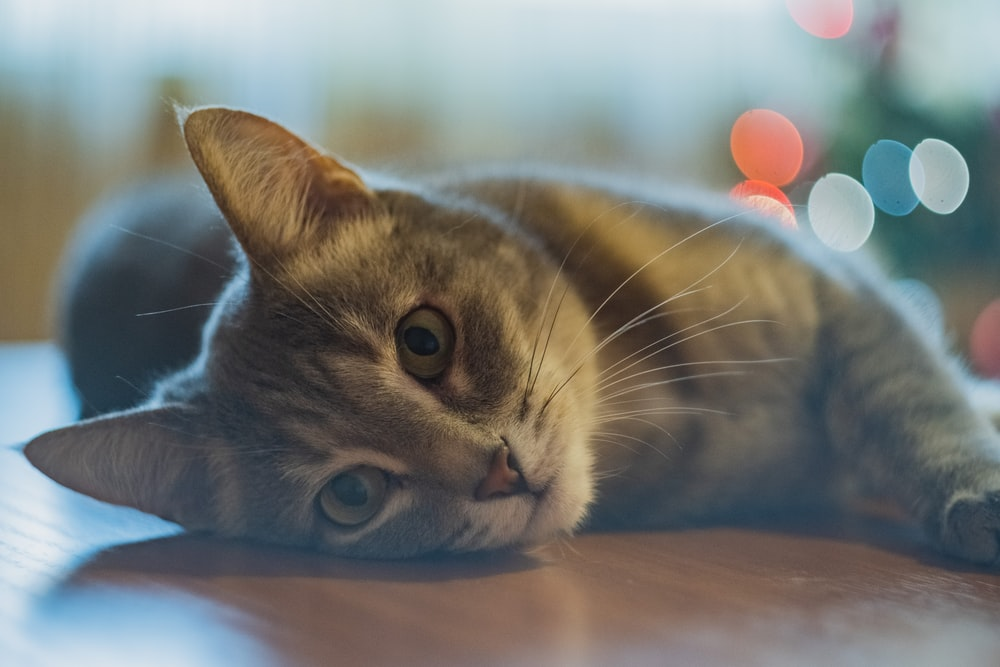 selective focus photography of gray cat lying on floor
