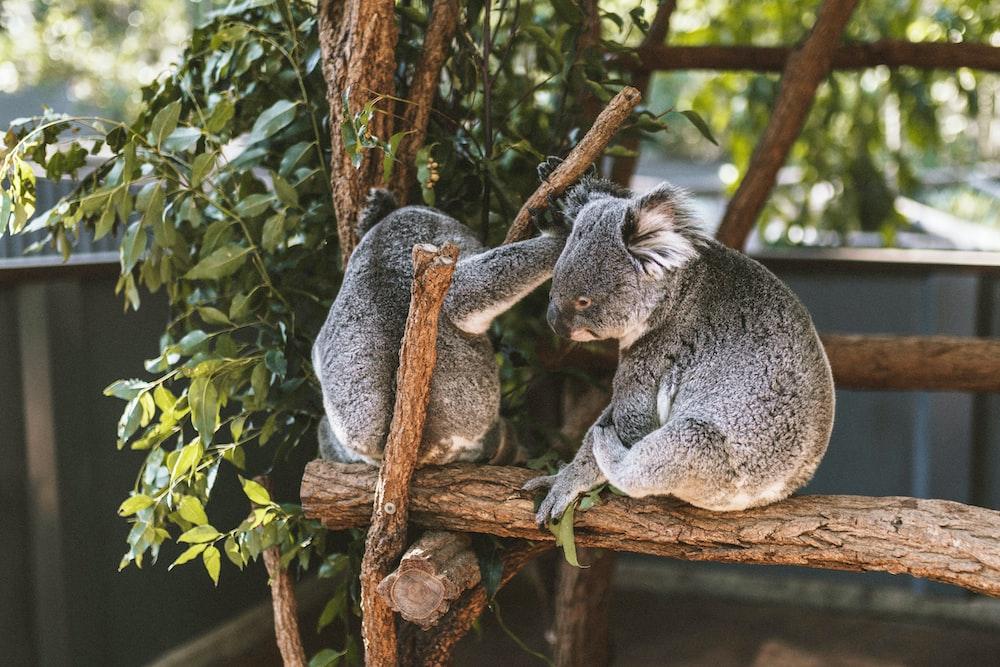 two Koalas on brown wood