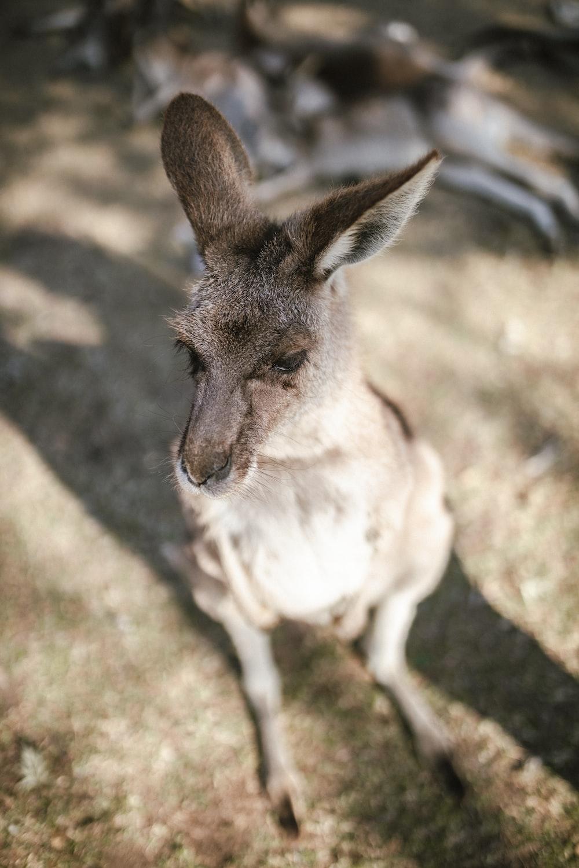 selective focus photography of kangaroo at daytime