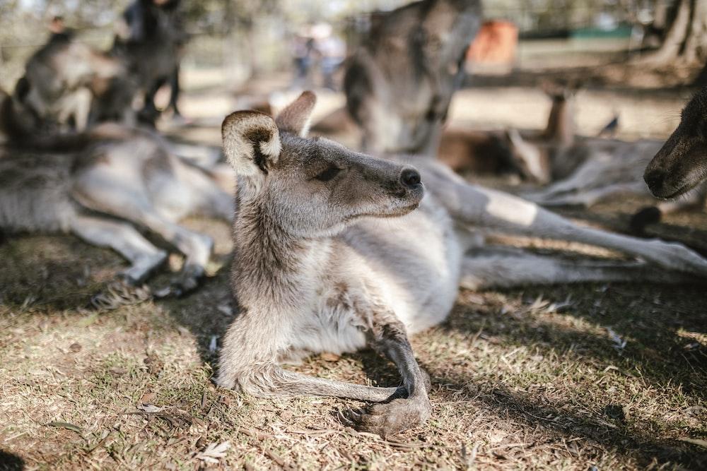 selective focus photography of kangaroos at daytime