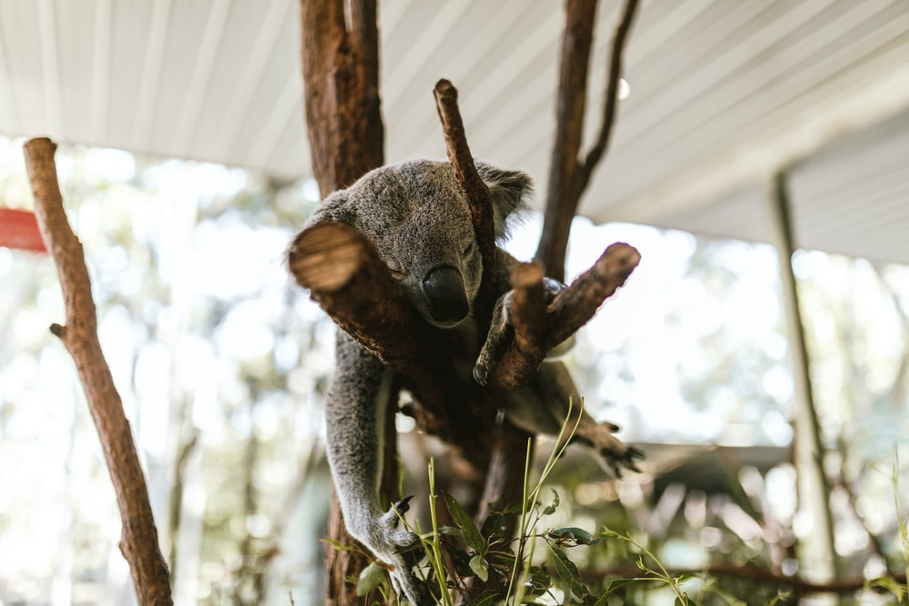 gray koala on tree branch
