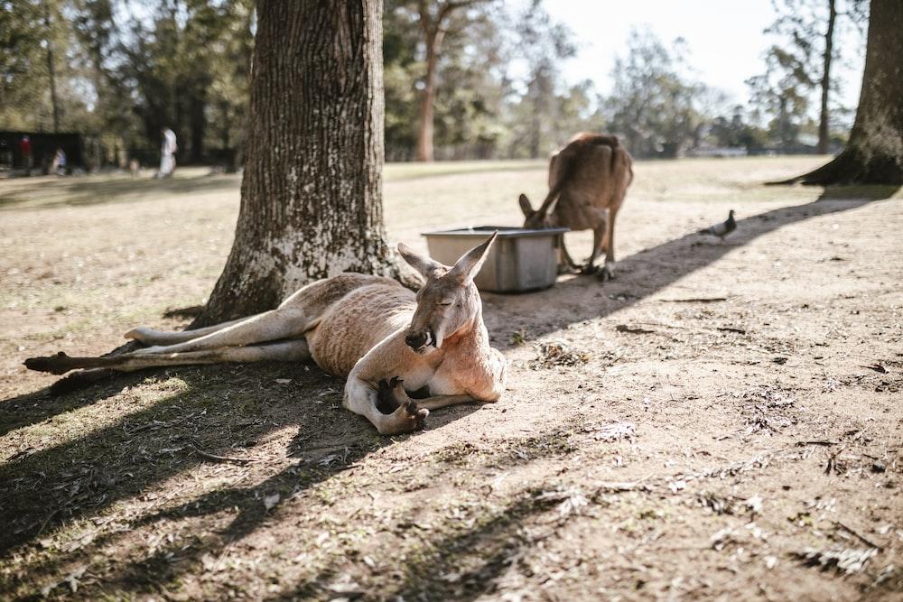 two brown kangaroos