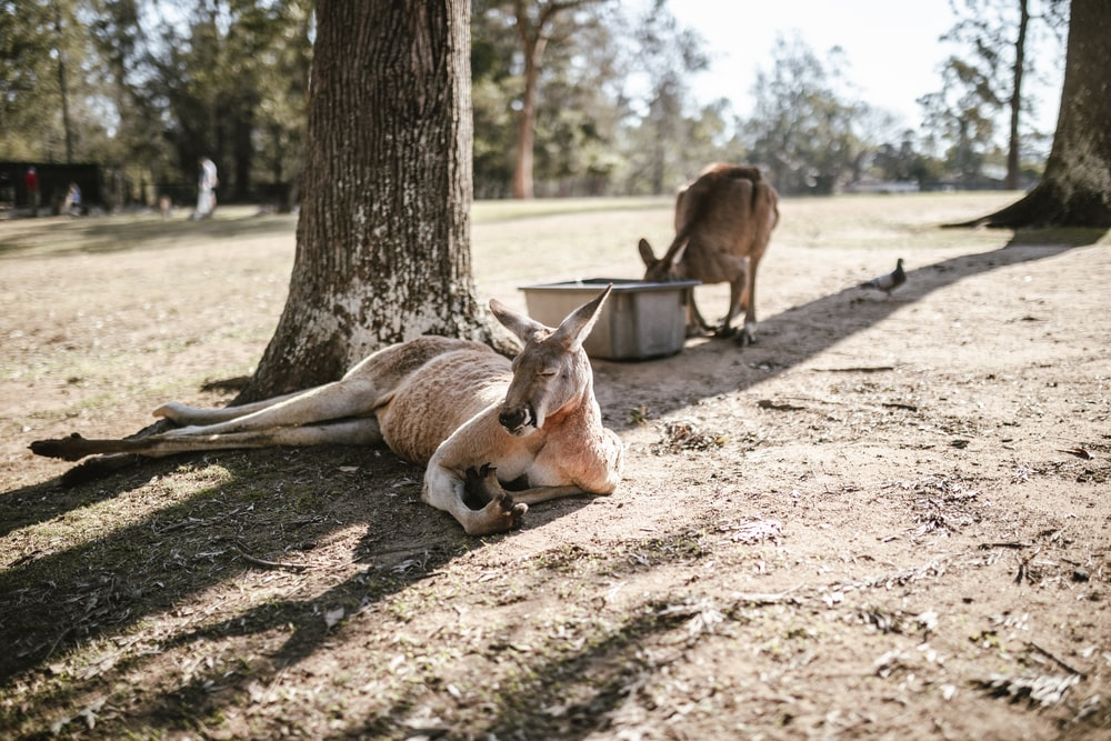 two brown kangaroos