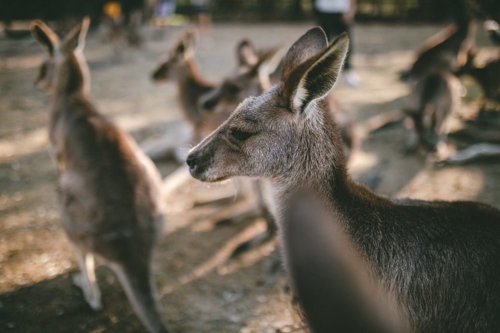 selective focus photography of group of kangaroos
