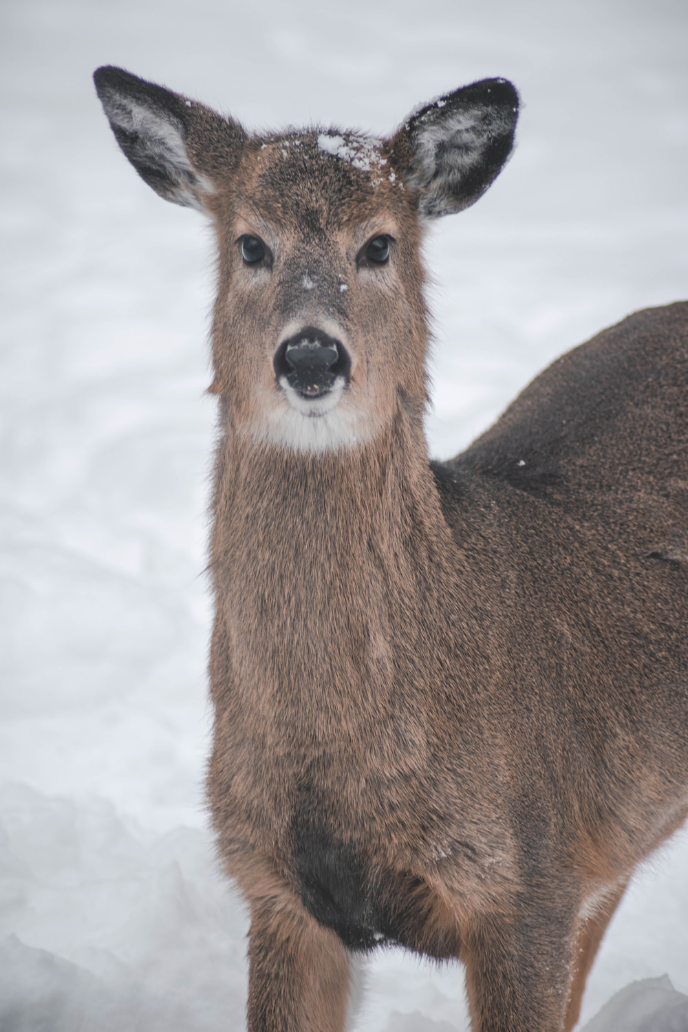 brown and gray deer with snow on head