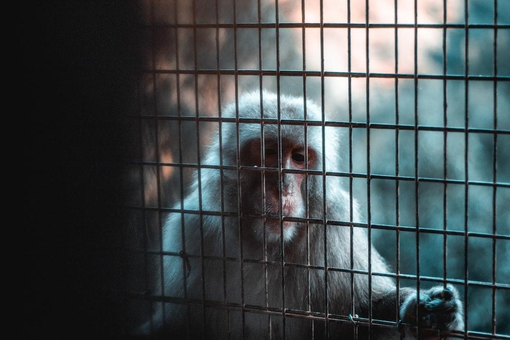 macaque behind fence