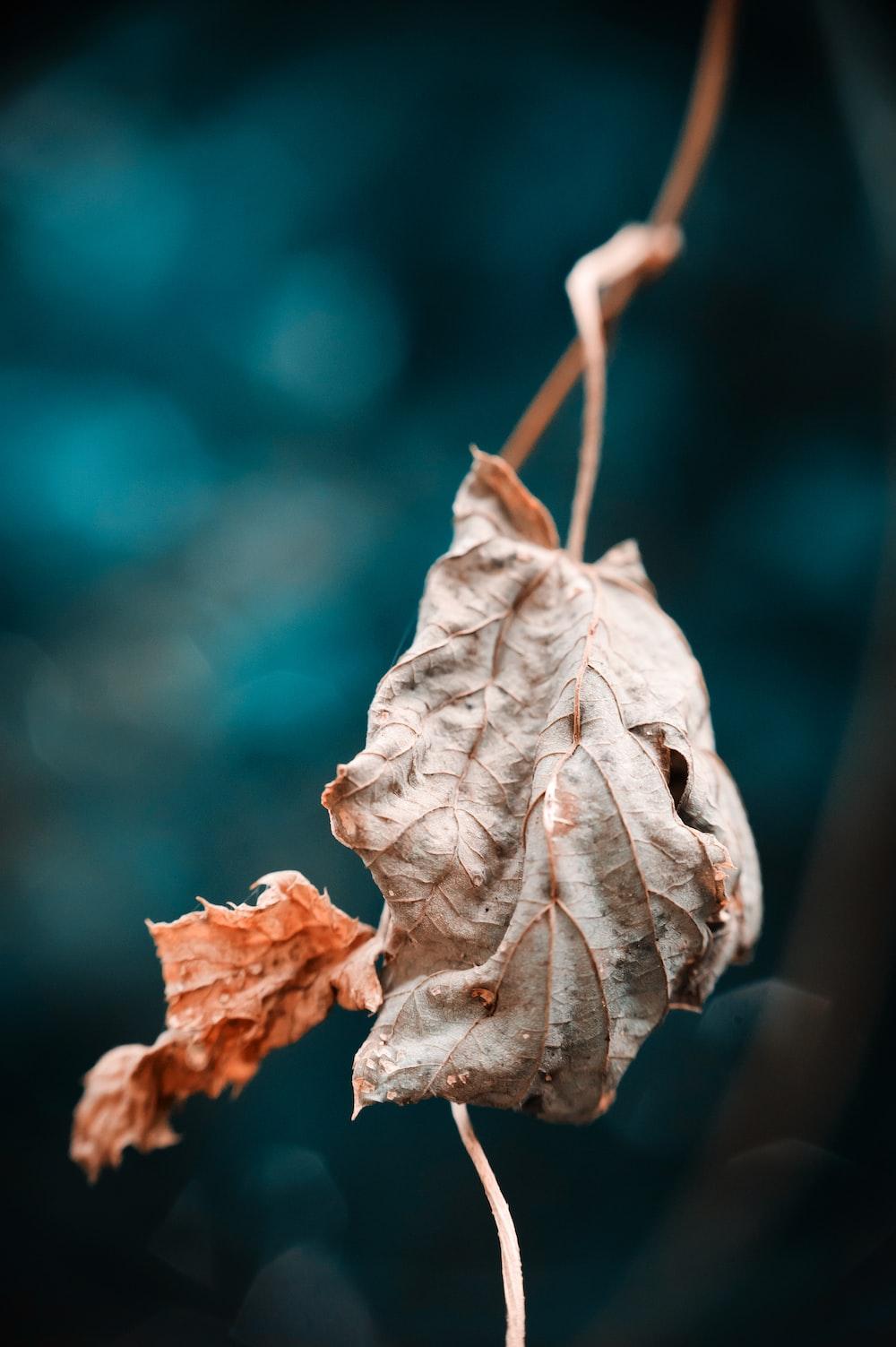 dry leaf plant