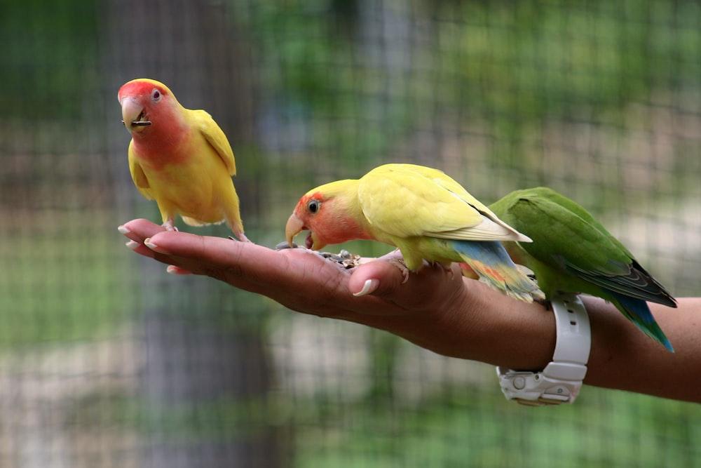three assorted-color parrots