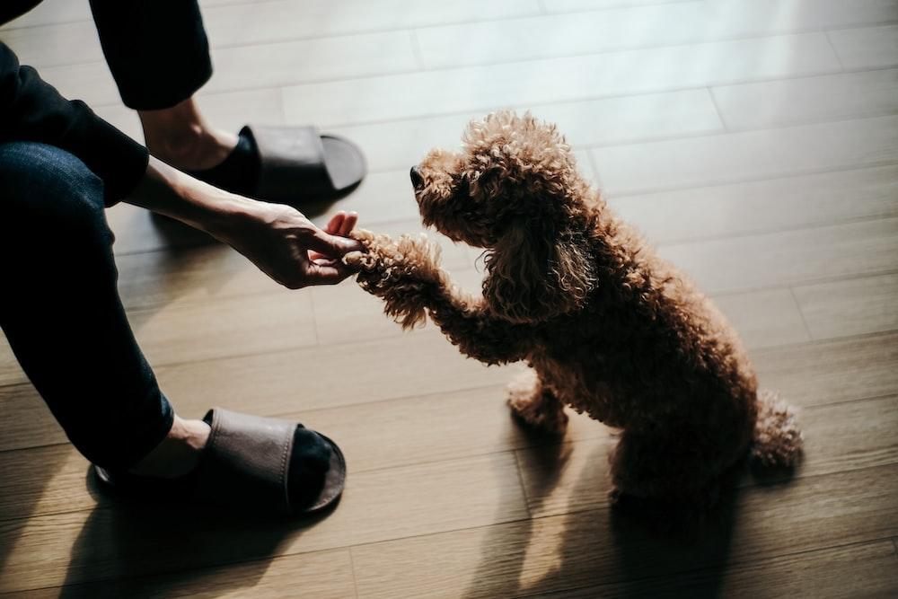 brown poodle dog shaking hands