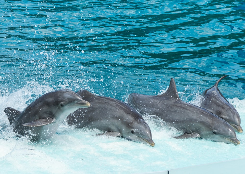 four gray dolphins