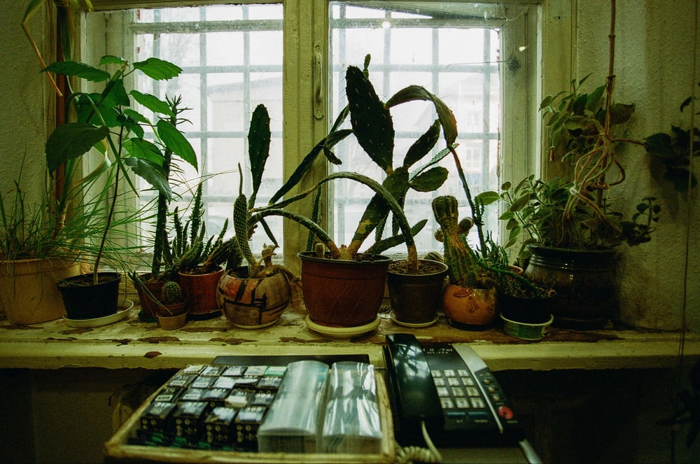 potted plants on window sills