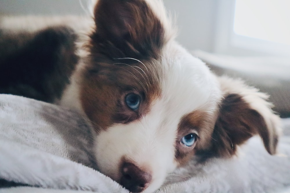 short-coated white and brown puppy lying indoors
